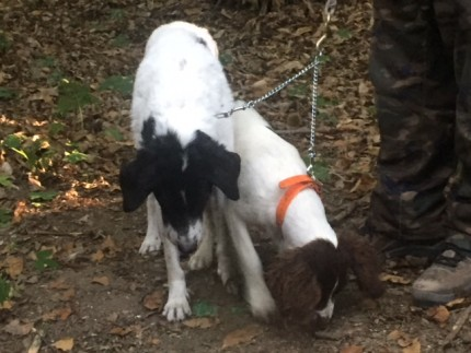 The canine truffle hunters pick up a scent!